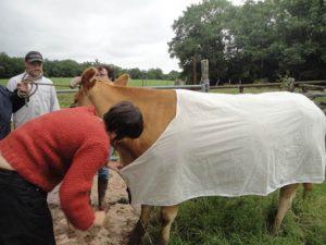 N°2essai prototype sur la vache avec la couturiere